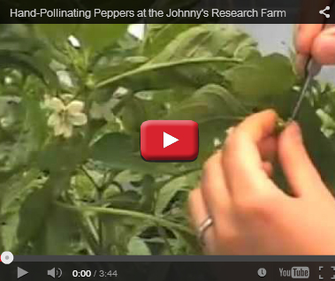 Pollinating Peppers