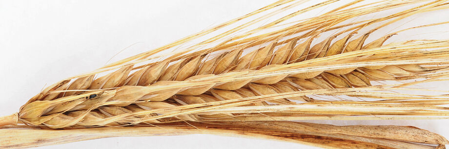 Barley grain heads against a white background.