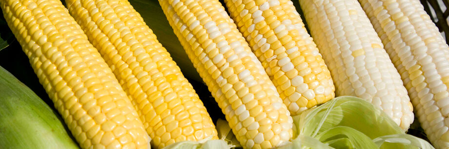 Six shucked ears of corn show the variety of kernel colors available with Johnny's sweet corn varieties.