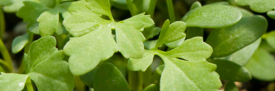 A close-up shot of cress greens.