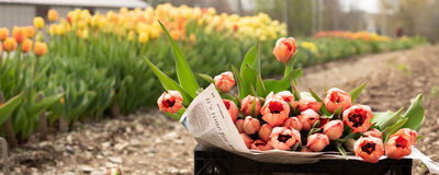 Tulips & Daffodils! Order Now for Fall Planting