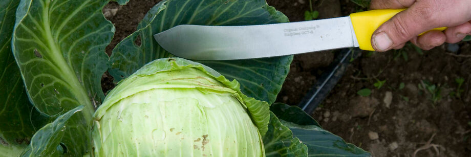 Person holding a harvest machete next to a head of cabbage.