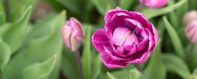 Reserve Your Fall-Planted Tulips & Narcissus