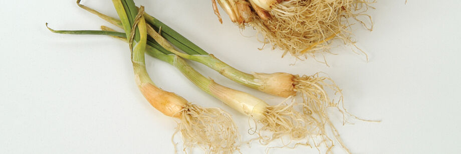 Several of our field-grown, spring dug onion plants shown on a white background.