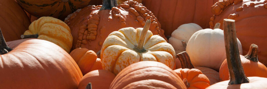 A variety of pumpkins grown from our pumpkin seeds, including white, warty, and large carving pumpkins.