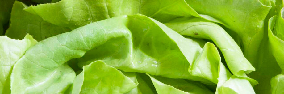 Zoomed in shot of the rippled green leaves of one of our butterhead lettuce varieties.