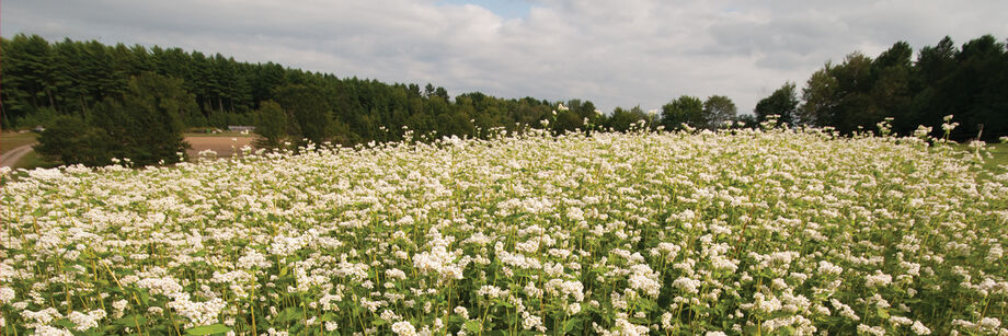 A cover crop of buckwheat in flower.