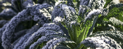 Say Yes! to Frost-Kissed Kale