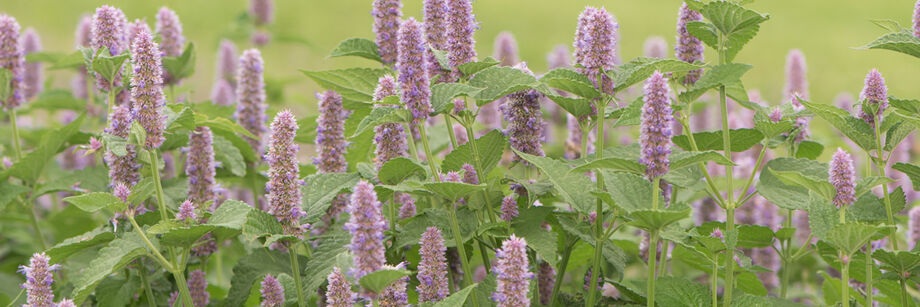 Purple blossoms of anise hyssop in the field.