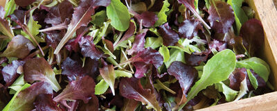 Lettuce Selected for Flavor & Performance