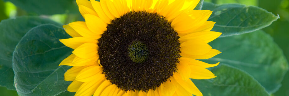 A bright yellow single-stem sun series sunflower blossom.