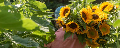 Easy, Versatile Sunflowers