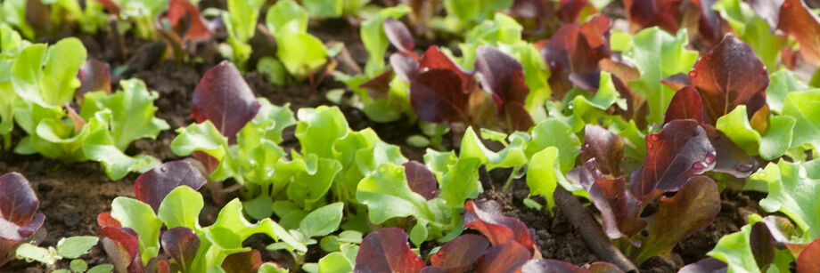 One of our lettuce seed mixes shown growing in the field.