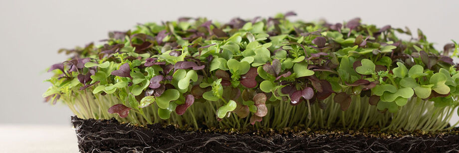 Lush growth of red and green microgreens grown from one of our microgreen seed mixes.