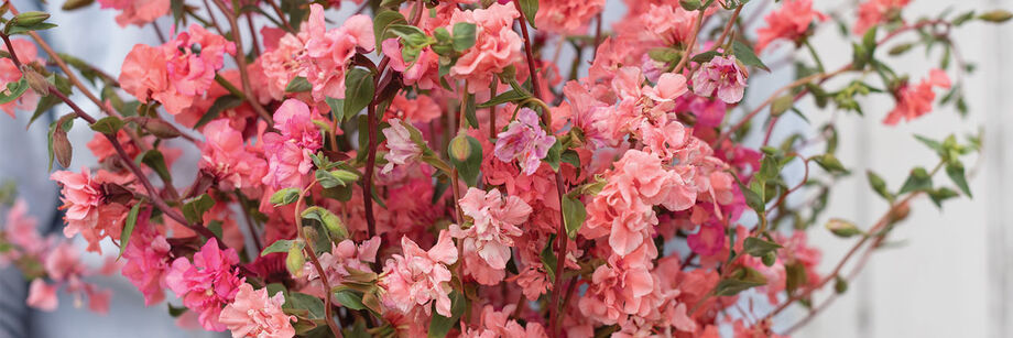 A bouquet with a plethora of pink clarkia flowers.
