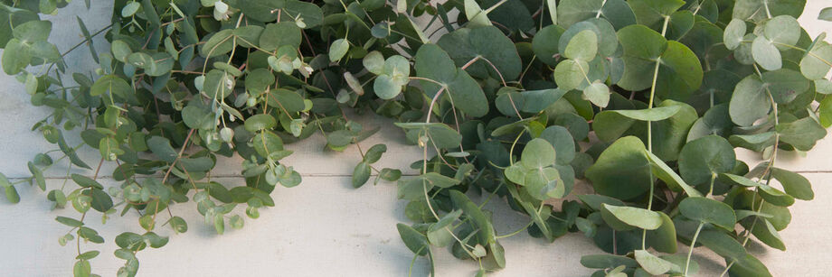 Eucalyptus foliage shown on a white table.
