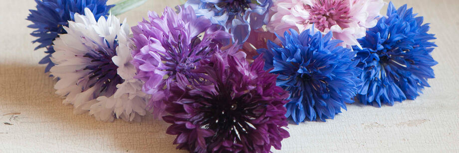 Bright blue, purple, and white flowers grown from our bachelor's button seeds.