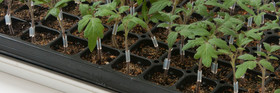 Grafted Tomato Plants