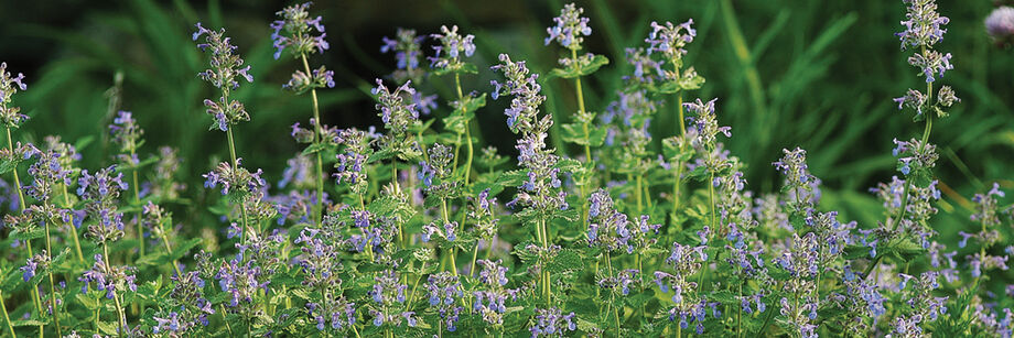 Flowering catmint plants shown in the field.