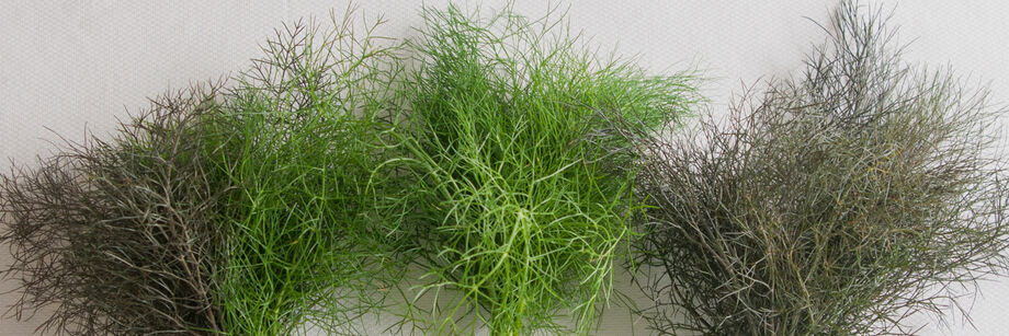 Four bunches of leaf fennel; two of each of our varieties.