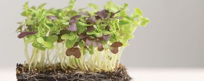 Microgreens - Top Picks for Getting Started