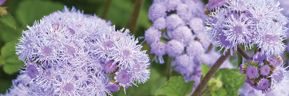 Lavender ageratum flowers, growing in the field.