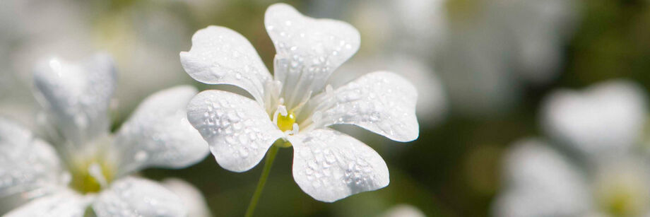 A white baby's breath flower with dew drops on it.