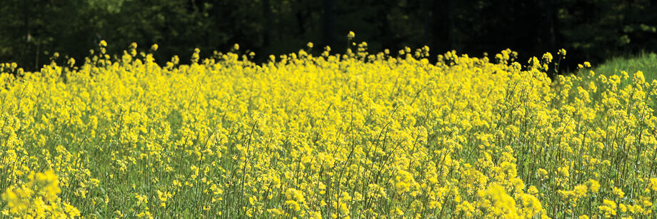 Mustard cover crop in flower with many small bright yellow flowers.