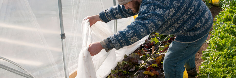 Man removing row cover to check on overwintered lettuce.