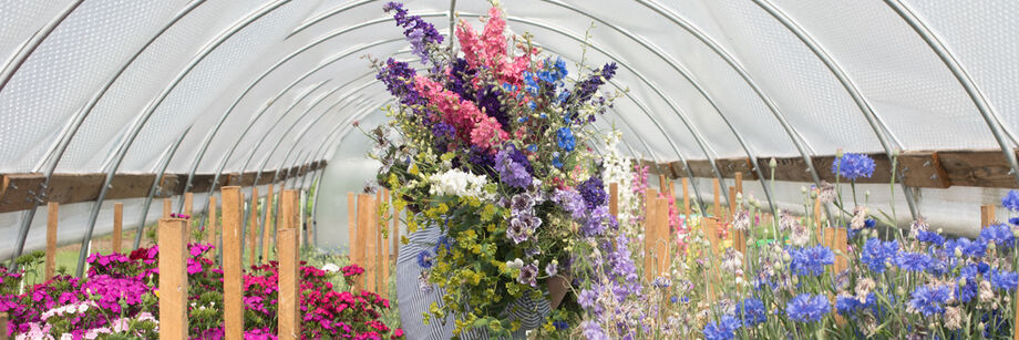 Person walking through caterpillar tunnel holding a large bundle of larkspur flowers.