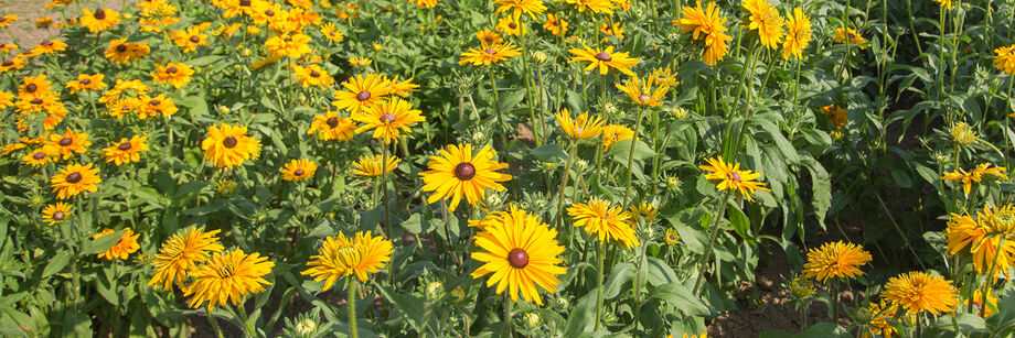 Yellow rudbeckia flowers growing in the field.