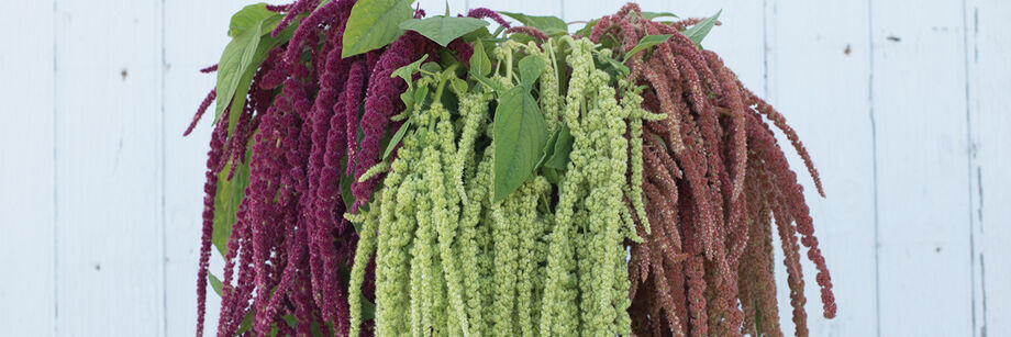 A bouquet of the draping tassels of three of our amaranthus varieties. The colors are maroon, light green, and dusky rose.