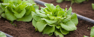 Salanova® — The Ultimate Efficiency Lettuce
