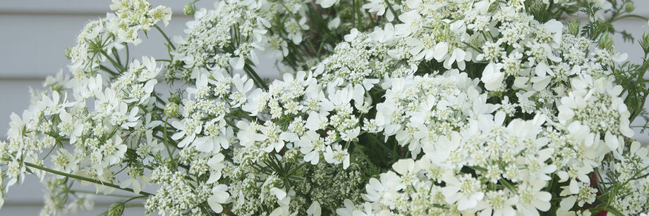 A bouquet of white orlaya flowers.