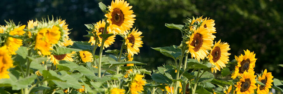 Tall single-stem sunflowers growing in the field.
