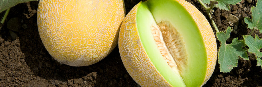 Two galia melons. One shown whole and one cut open to show the green flesh.