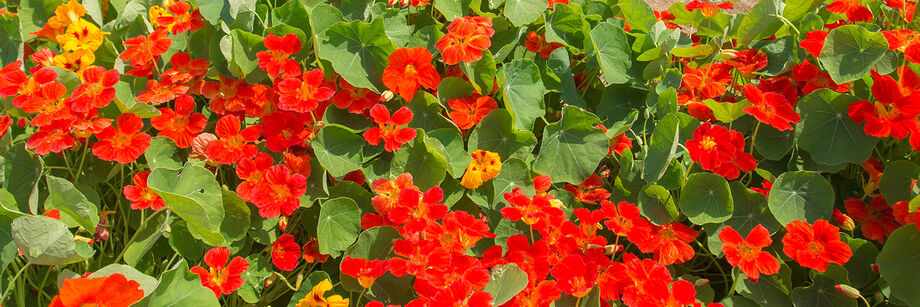 Orange nasturtium flowers growing in the field.
