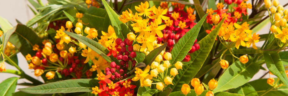 A bouquet of small, yellow and red flowers, grown from one of our butterfly weed varieties.