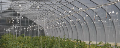 Trellising & Crop Support Systems for Tomatoes
