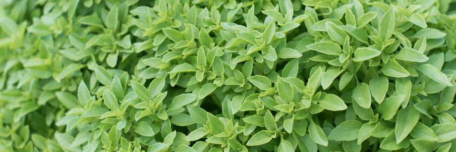 Close up of green fine leaf basil leaves.