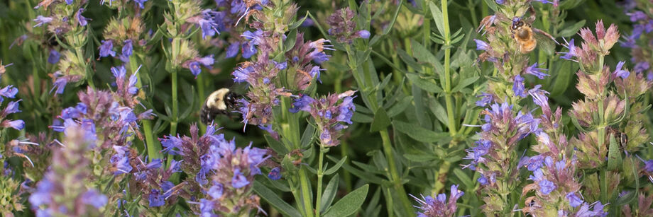 Blue hyssop flowers with a bumblebee on one of them.