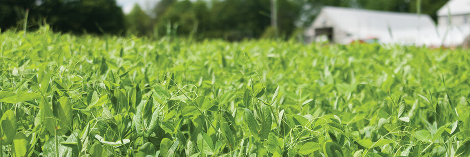 Field peas growing as a cover crop with a greenhouse and barn in the background.
