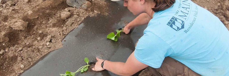 Person transplanting into black plastic mulch.