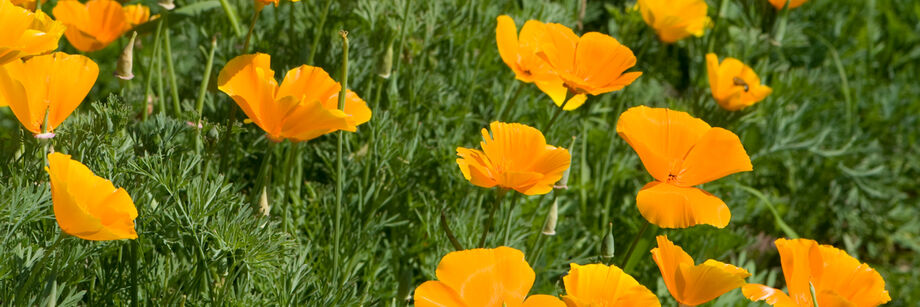 The yellow flowers of one of our poppy varieties, shown growing in the field.