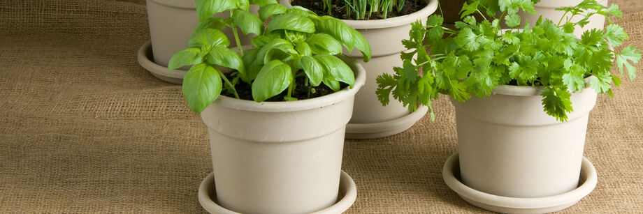 Round, gray plastic plant pots with saucers shown with herbs growing in them.