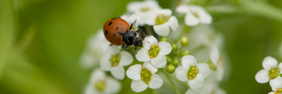 Ladybug on a white flower.