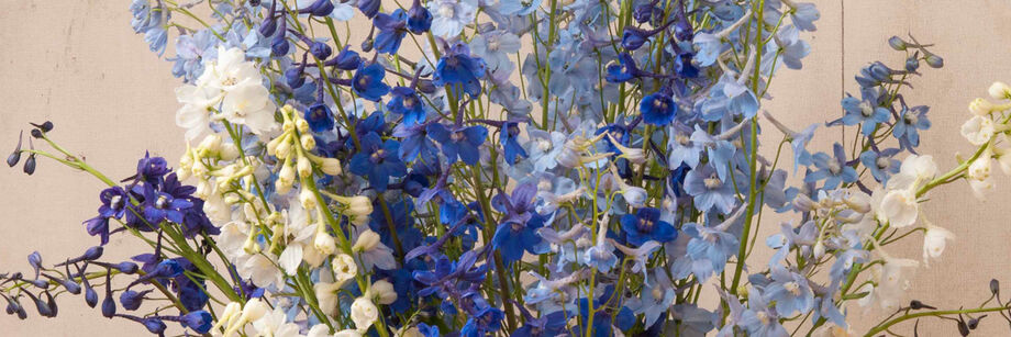 A bouquet of the bright blue and white flowers of one of our Delphinium varieties.