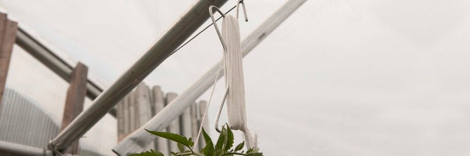 A metal tomahook, wrapped with white twine, and supporting a tomato plant.