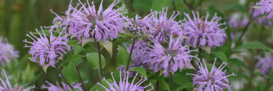 Lavender flowers of bee balm shown growing in the field.