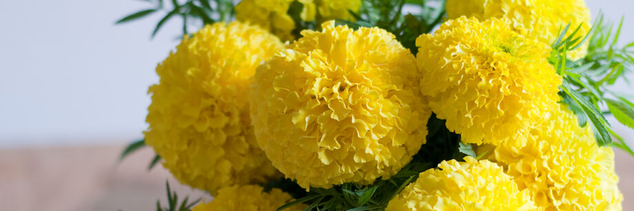 A bouquet of bright yellow giant marigold flowers.